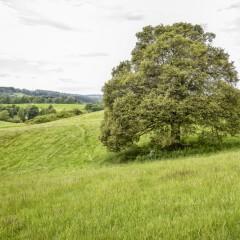 Roškopovská babyka v anketě Strom roku